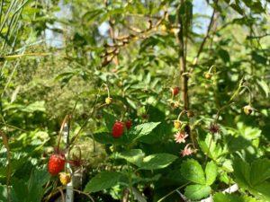 Wild srawberries in a bush